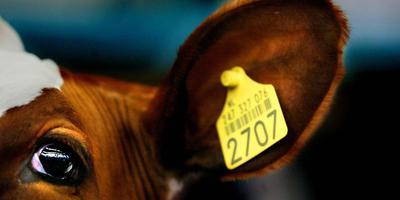 In vergelijking tot andere landen staat dierengezondheid in Nederland er goed voor. Toch zijn er nog steeds boeren in nood. Foto: ANP
