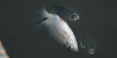 Dode en naar adem happende vissen, zoals die ook in Nieuw-Balinge waren te zien. Foto archief Siep van Lingen