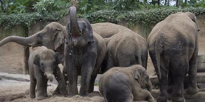 De olifanten voor het eerst in een zandbad in de grote kas. FOTO JAN ANNINGA