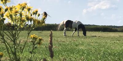 Zodra jacobskruiskruid in hooi of kuilvoer terechtkomt, wordt het gegeten en kunnen koeien, paarden en schapen ernstig ziek worden en zelfs doodgaan.