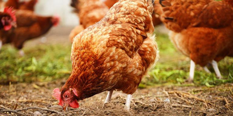 """""""Kippen zijn bosdieren"""", zegt pluimveehouder Kees Sijbenga uit Hooghalen. """"Ze lopen liever tussen bomen dan op een grasveld."""""""