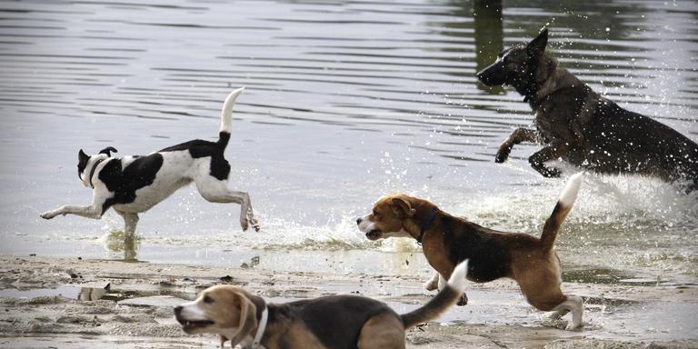 Honden en hun baasjes genieten van de vrijheid, maar niet iedereen houdt van loslopende honden. Tynaarlo wil daarom duidelijke regels. Foto Jan Willem van Vliet