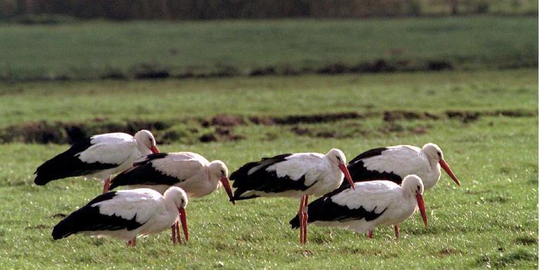 De ooievaars rusten alleen maar uit en vliegen dan verder richting Afrika. FOTO ARCHIEF DVHN