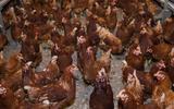 Video Animal Rights richt zich op kippenboer in Linde: 'Achterbakse actie'