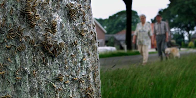 De eikenprocessierups is een jaarlijks terugkerende plaag, maar hij is niet de grootste boosdoener als het om kaalgevreten eiken gaat. Foto: ANP