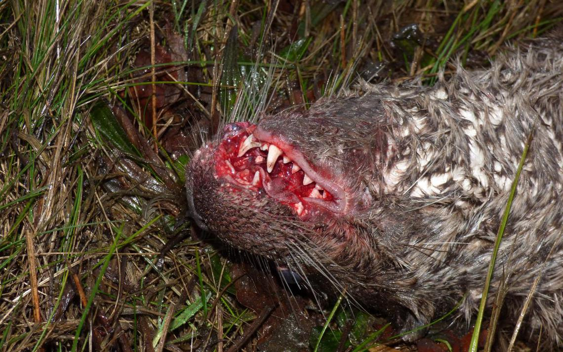 Derde otter doodgereden Norgervaart - Dagblad van het Noorden
