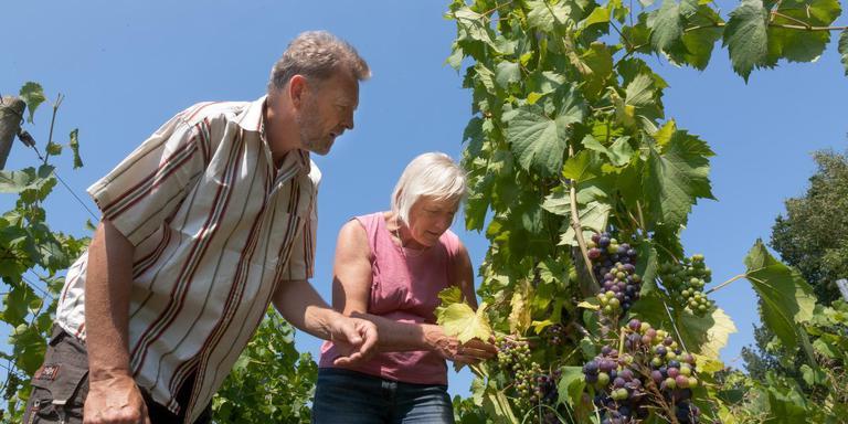 Jan-Willem en Irene controleren de bladeren van de druiventakken. Foto Gerrit Boer