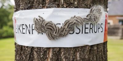 De eikenprocessierups rukt op. Foto: Rens Hooyenga