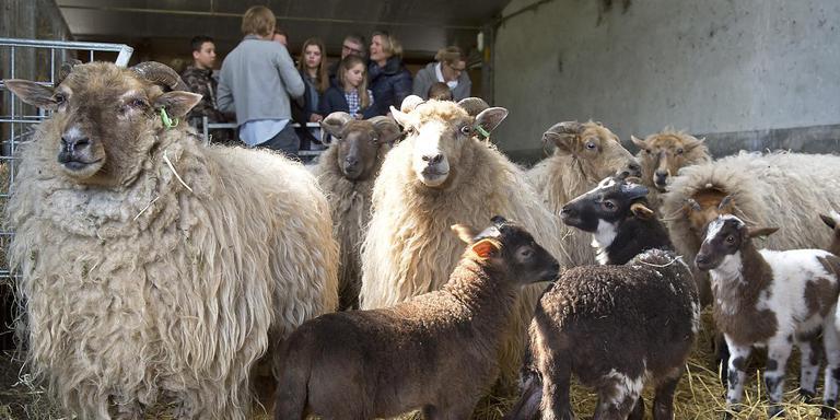 Lammetjes tellen in de schaapskooi blijkt geen eenvoudige klus. Foto Jan Anninga