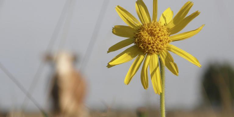 Het zeldzame plantje Arnica groeit langs het spoor in Hoogeveen.