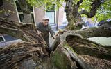 Bomendeskundige André Efftink inspecteert de linde op houtrot. Vlakbij zijn houten hamer is te zien hoe de boom nieuw weefsel heeft gevormd om zich er tegen te wapenen.