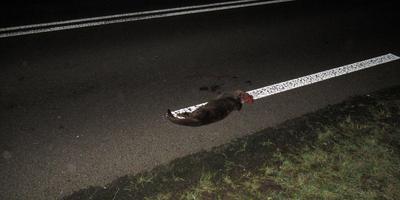 De doodgereden otter op de Groningerweg in Peizermade. Foto: Natuur in Onlanden