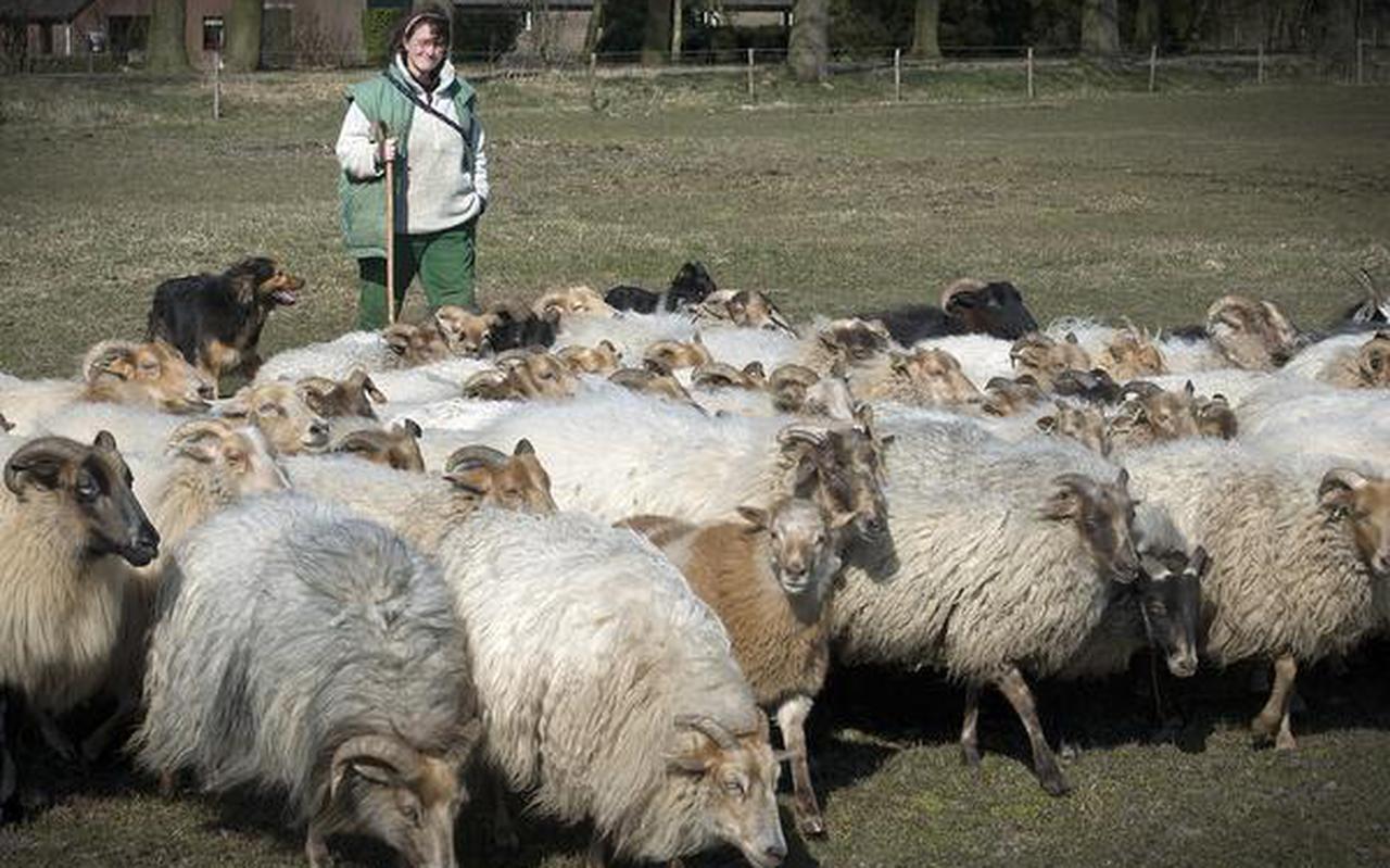 Schaapherder Berber Ubbink met haar kudde heideschapen. FOTO JAN ANNINGA
