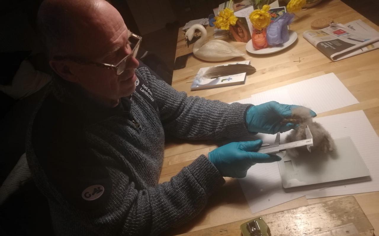 Natuurbeheerder Jan Beekman van Het Groninger Landschap onderzoekt de conditie van het zeearend-kuiken.