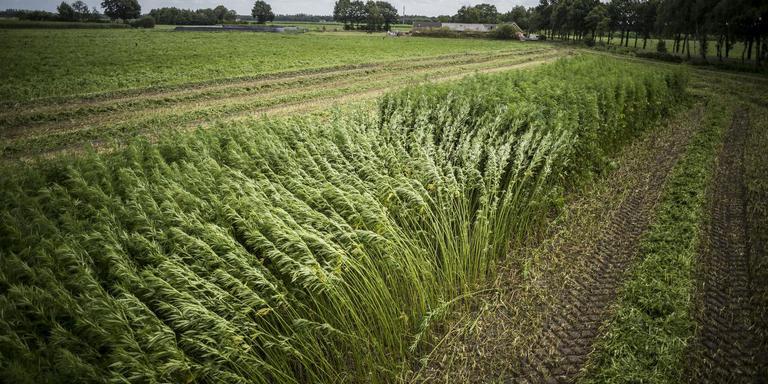Een hennepveld bij Oude Pekela. Inzet: Wim Jonker.
