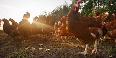 Een kip kun je slachten op het moment dat het uitkomt én je kunt hem in zijn geheel opeten.