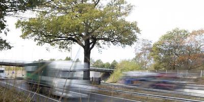 De troeteleik van Ulvenhout, ingeklemd tussen de rijstroken van de A58. Foto: Max de Krijger