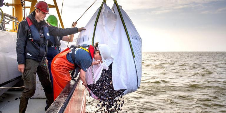 Bioloog Emilie Reuchlin knipt een zak met mosselschelpen open. FOTO JILMER POSTMA