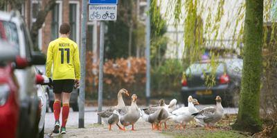Tamme ganzen in het Noorderplantsoen in Groningen. Foto: Marcel van Kammen