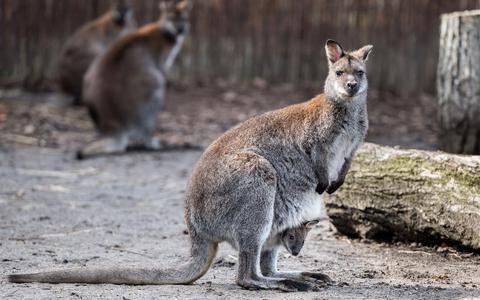 Politieagent redt ontsnapte kangoeroe uit vijver Paterswolde (Daarna ontsnapt het dier nog twee keer)