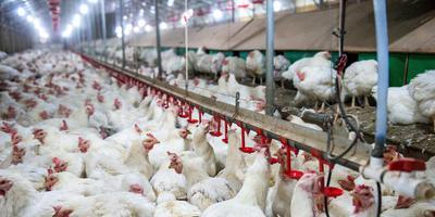 De dierenarts uit Scheemda wordt verdacht van gesjoemel met kippenvaccins. Foto: ANP