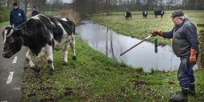 Boer Dijkhuis met zijn koeien in de Hunzezone. Archieffoto: Corné Sparidaens.