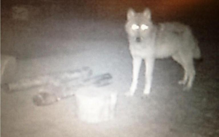 Wolf gesignaleerd bij Zwartemeer over de grens