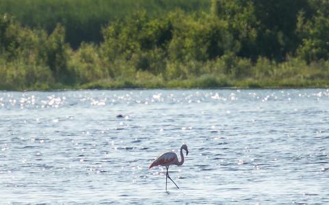 Flamingo gezien bij Zuidlaardermeer