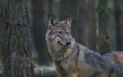 Vraatzuchtige wolven bij de oosterburen