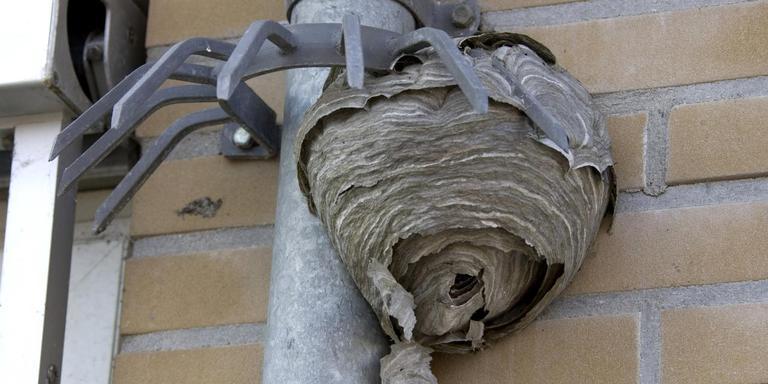 Een wespennest aan een regenpijp. Foto: Archief DvhN