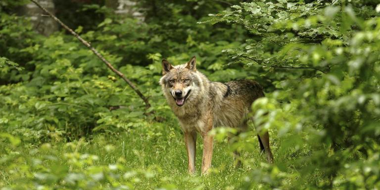 Een wolf in het Beierse Woud in Duitsland. Foto: Aaldrik Pot