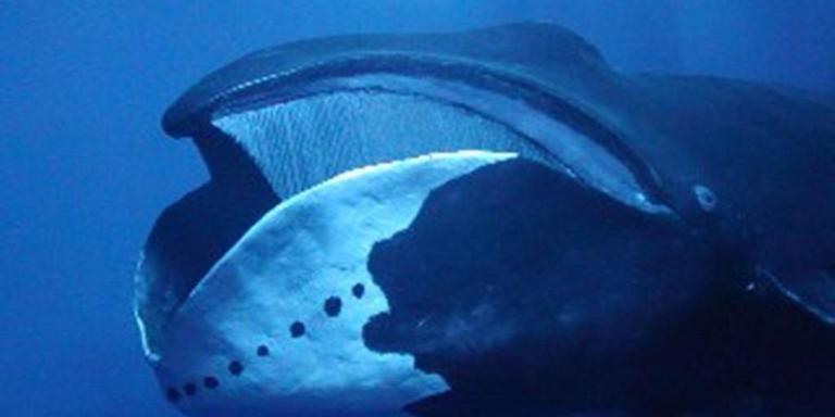 De Groenlandse walvis, oftewel de ijswalvis.