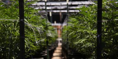Een hennepplantage. Foto: Shutterstock