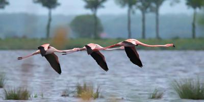 Chileense flamingo's in Roegwold. Foto: Wilco van der Laan