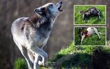 Minstens dertig schapen in het Noorden werden gedood door wolven