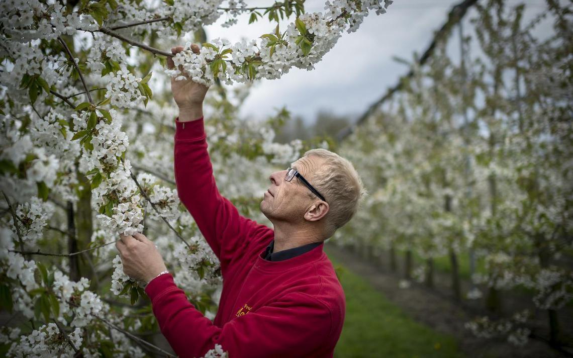 Groningse fruittelers bezorgd nachtvorst in aantocht groningen