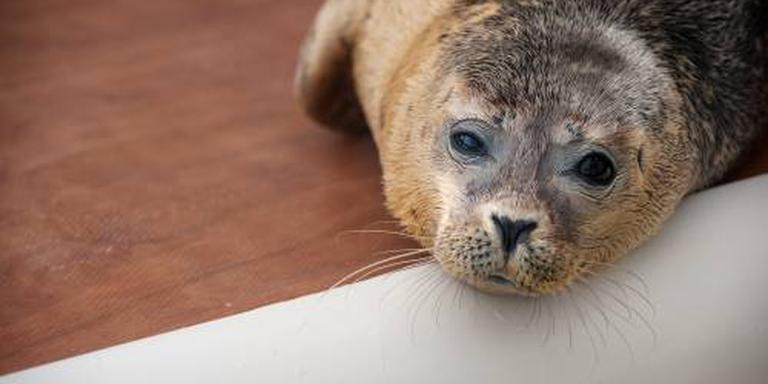 Minister: minder opvang zeehonden