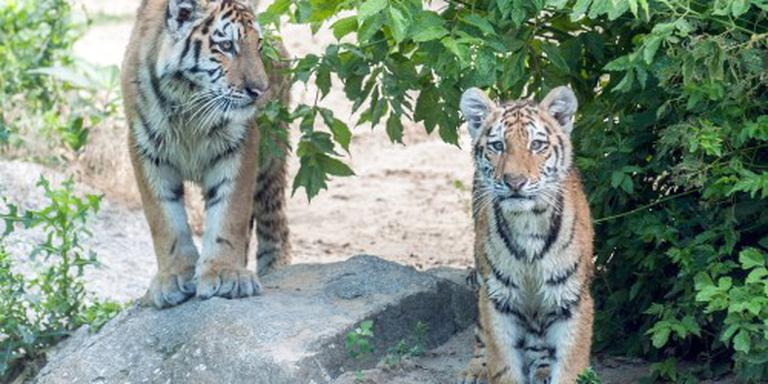 Nu al meer tijgers gestroopt dan in 2015