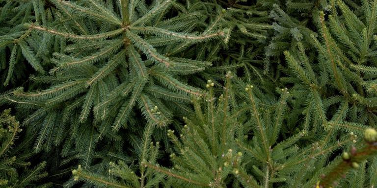 Smijten met kerstbomen voor nationale titel in Norg