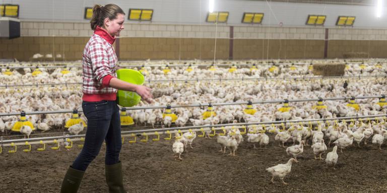 Pluimveehouder Rene Eygelshoven in Holwierde is overgestapt op het fokken van Beter leven kip. Zijn dochter Moniek voert de kippen graan. Foto Geert Job Sevink
