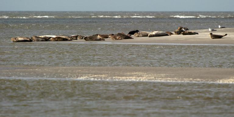 Zeehonden op een zandplaat. FOTO ARCHIEF DVHN