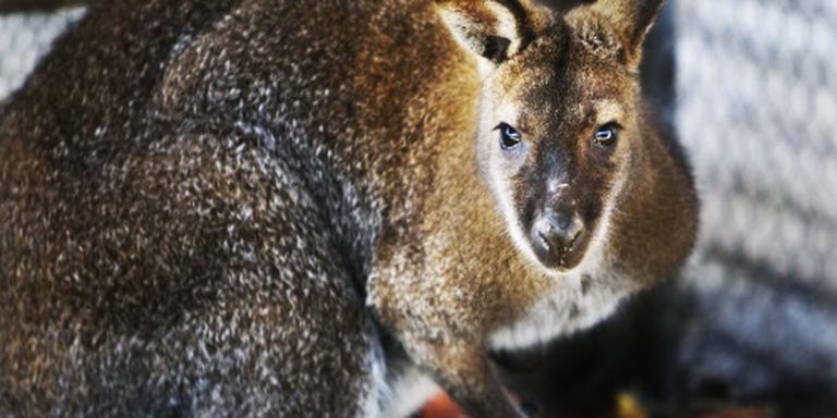 Import kangoeroevlees blijft ongemoeid