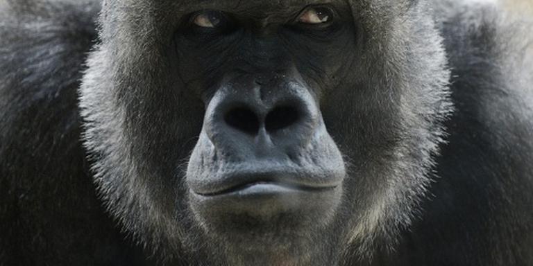 Ouders van peuter gorilla-incident onderzocht