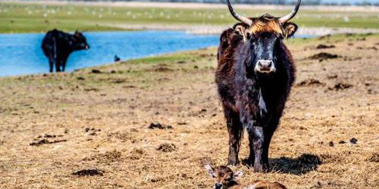 'Geef dieren Oostvaardersplassen meer ruimte'