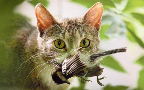 Katten aan de lijn, want het zijn vogelverslinders: deze ecoloog van de RUG en een jurist willen een proefproces om los laten lopen van katten strafbaar te maken