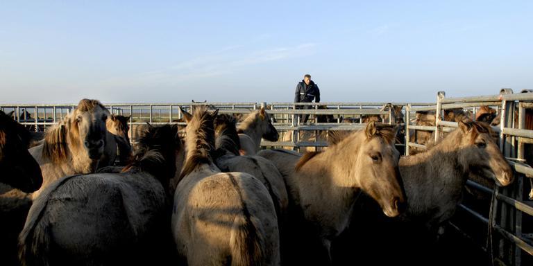 Konikpaarden verhuizen naar Duitsland