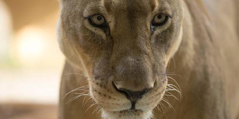 Leeuw ontsnapte door verstrooide verzorgster