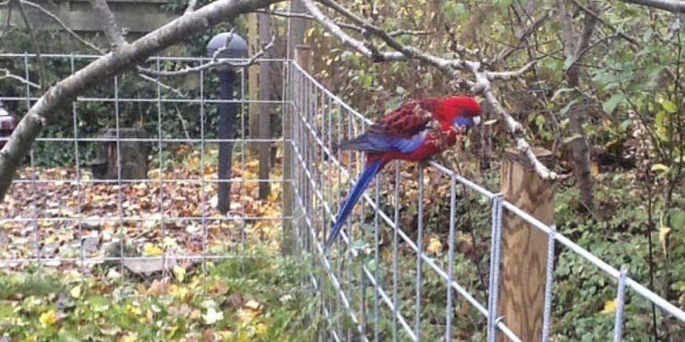 Asser wijk Pittelo in ban van papegaai