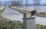 De wolf die door Groningen en Drenthe zwierf. Foto: Archief DvhN