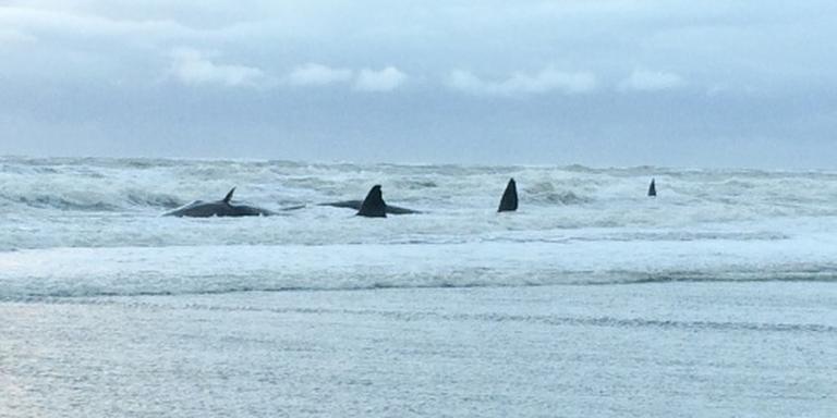 Potvissen gestrand op Texel